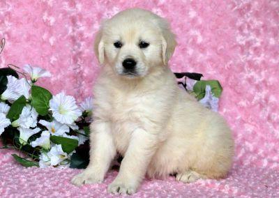Golden Retriever PUPPY FOR SALE ADN-79208 - English Cream Golden Retriever Puppy