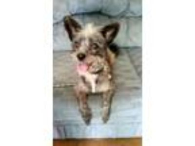 Adopt Cricket - Swoan a Yorkshire Terrier