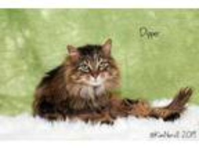 Adopt Dipper a Brown or Chocolate Domestic Longhair / Domestic Shorthair / Mixed