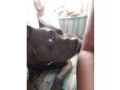 Adopt Pebbles a Brown/Chocolate American Pit Bull Terrier / Mixed dog in Goleta