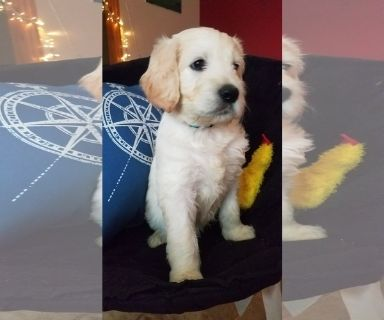 Goldendoodle PUPPY FOR SALE ADN-122521 - F2B English Cream Goldendoodle puppies