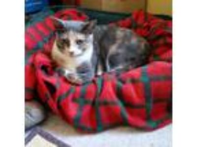 Adopt Carli a Calico or Dilute Calico Calico (short coat) cat in Marlton