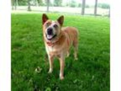Adopt Red a Cattle Dog