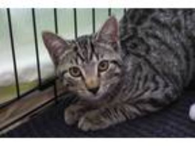 Adopt Zelda 3 Kittens 03 a Spotted Tabby/Leopard Spotted Domestic Shorthair /