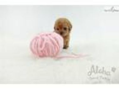 Mini Teacup Poodle Puppies For Sale - Cheese