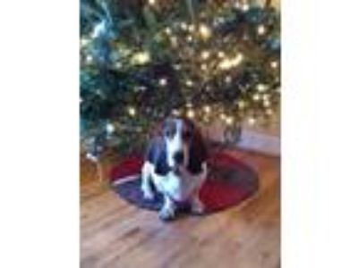 Adopt Louie a White - with Brown or Chocolate Basset Hound dog in Estero