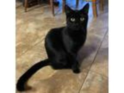 Adopt Ginger III a All Black Domestic Shorthair cat in Dallas, TX (22565877)
