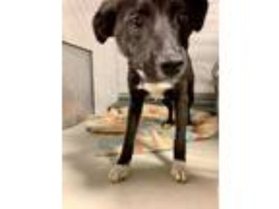Adopt California a Black Corgi / Terrier (Unknown Type, Small) / Mixed dog in