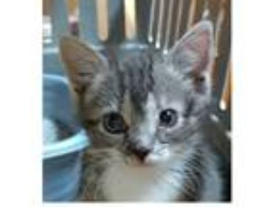 Adopt Baby Ruth a Gray, Blue or Silver Tabby Domestic Shorthair (short coat) cat