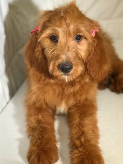 Goldendoodle PUPPY FOR SALE ADN-77393 - Betty  F1 Standard Goldendoodle