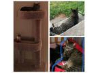 Adopt Olivia Jane a Gray, Blue or Silver Tabby Domestic Mediumhair / Mixed cat
