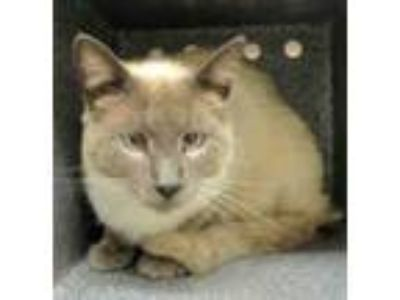 Adopt Peter a Cream or Ivory (Mostly) Siamese (short coat) cat in Georgetown