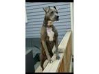 Adopt Maggie a Staffordshire Bull Terrier