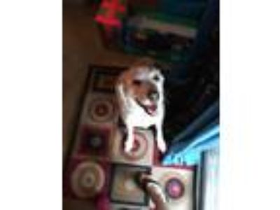 Adopt Lacy a White - with Brown or Chocolate Great Pyrenees dog in Orlando