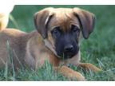 Adopt Delta a Australian Cattle Dog / Blue Heeler, Mastiff