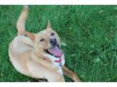 Adopt MADDIE a Tan/Yellow/Fawn - with White Husky / Mixed dog in Brewster