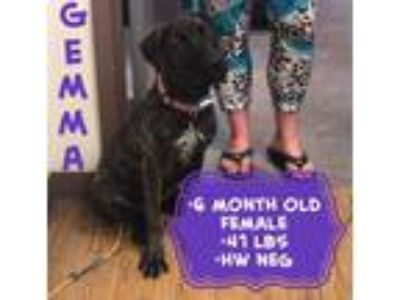 Adopt Gemma a Brindle - with White Labrador Retriever / Australian Cattle Dog /