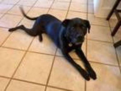 Adopt Zoey a Black Labrador Retriever