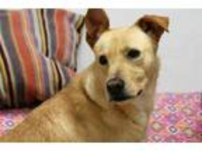 Adopt AVA a Tan/Yellow/Fawn Labrador Retriever / Australian Cattle Dog / Mixed