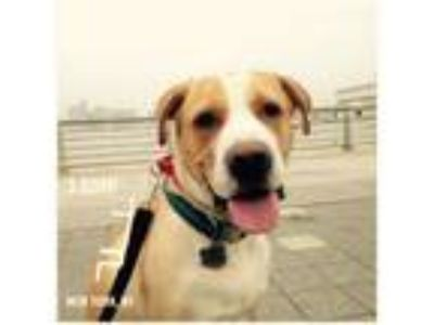Adopt Ollie a Tan/Yellow/Fawn - with White Boxer / Labrador Retriever dog in Los
