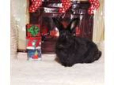 Adopt Johnny a Black Harlequin / Mixed (short coat) rabbit in Waynesboro