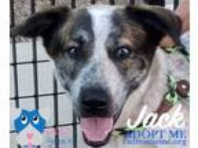 Adopt Jack a Australian Cattle Dog / Blue Heeler, Mixed Breed