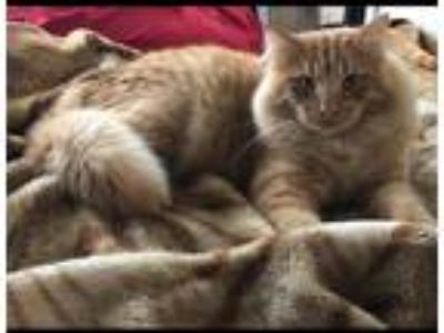 Adopt Tigger a Orange or Red Tabby Maine Coon cat in North Las Vegas