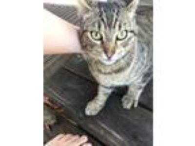 Adopt Boy kitty a Brown Tabby Domestic Shorthair / Mixed cat in Vidor