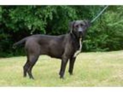 Adopt Anna a Black Labrador Retriever, Labrador Retriever