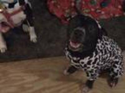 Adopt Kiki aka keekan a Black Shar Pei / Labrador Retriever / Mixed dog in