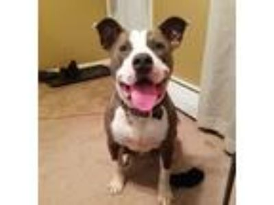 Adopt Blue a White - with Gray or Silver American Pit Bull Terrier dog in