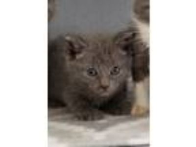 Adopt Layla a Spotted Tabby/Leopard Spotted Russian Blue / Mixed cat in
