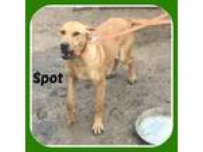 Adopt SPOT a Cattle Dog, Treeing Walker Coonhound