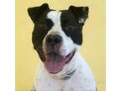 Adopt Nemi a Black Pit Bull Terrier dog in Lynchburg, VA (25025246)