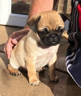 lovely pug puppies are now ready