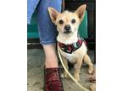 Adopt Humphrey a Tan/Yellow/Fawn - with White Cairn Terrier / Norfolk Terrier /