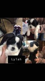 Mal-Shi-Shih Tzu Mix PUPPY FOR SALE ADN-113758 - Malti tuz
