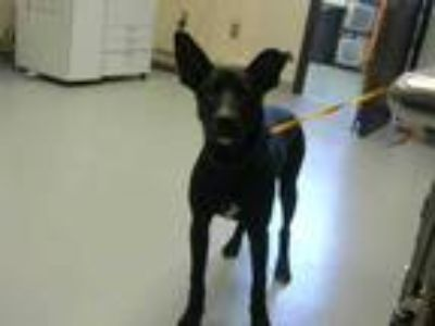 Adopt PAULIE a Black - with White German Shepherd Dog / Mixed dog in
