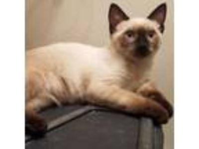 Adopt Ghost a Tan or Fawn (Mostly) Siamese (short coat) cat in Houston