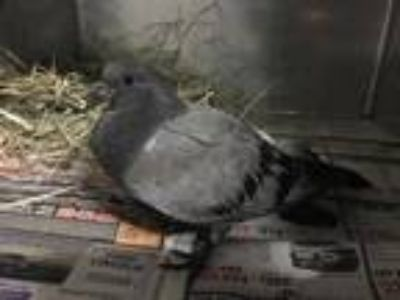 Adopt a Gray Pigeon / Mixed bird in Martinez, CA (25576191)