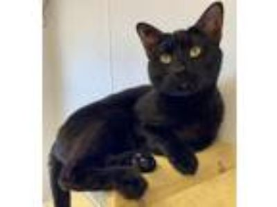 Adopt Salem a Domestic Short Hair