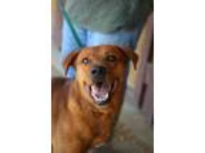 Adopt Clifford JuM a Red/Golden/Orange/Chestnut Labrador Retriever / Mixed dog
