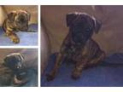 Adopt Izzy(tagged for rescue) a Brindle Shepherd (Unknown Type) / Mixed dog in