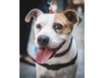 Adopt Debbie Eagan a Brown/Chocolate - with White Pit Bull Terrier / Mixed dog