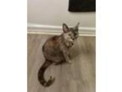 Adopt Shila a Domestic Short Hair