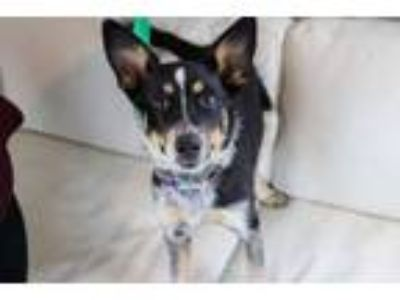 Adopt Pyper a Australian Cattle Dog / Blue Heeler