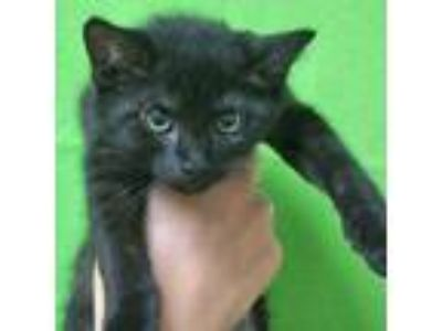 Adopt Shake a Domestic Shorthair / Mixed cat in Rancho Santa Fe, CA (25581236)