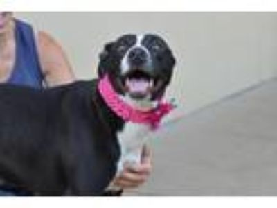 Adopt Florence a Black - with White American Staffordshire Terrier / Mixed dog