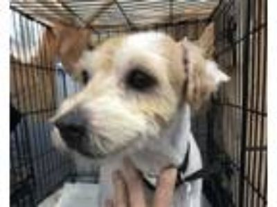Adopt Zelda a Parson Russell Terrier / Mixed dog in Madison, NJ (25642570)