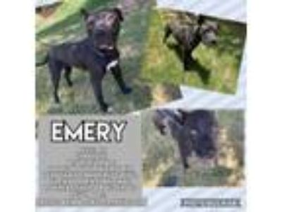 Adopt Emery a Pit Bull Terrier, Mixed Breed